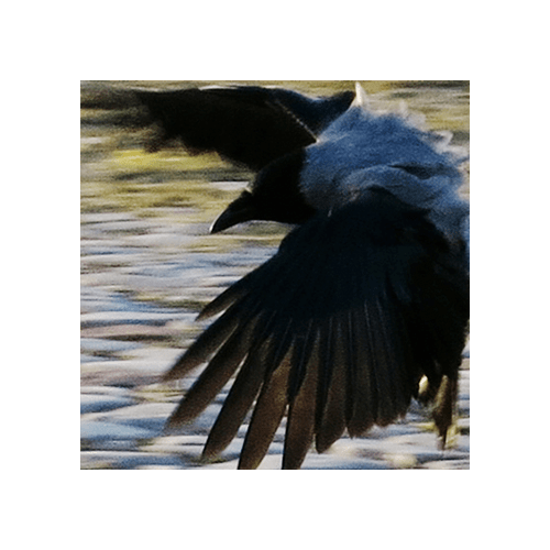Urban Crows